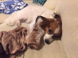 家で待っている愛犬(パピヨン)