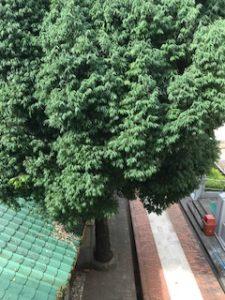 ミャンマーのヤシの木