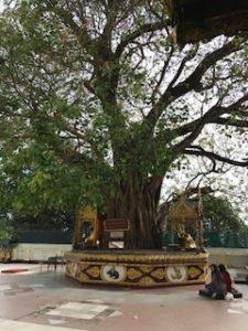 お釈迦様の沙羅双樹の木
