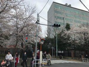 東京藝術大学の前の桜