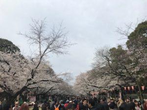 上野公園内の桜並木